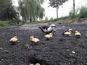 Soepeend met kuikens moet het stellen zonder water in de vijversloot langs het Hilvarenbeekse sportpark De Roodloop.