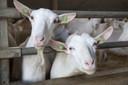 Maximaal 1.800 geiten mogen er straks in Ottersum worden gehouden. Er zijn nog twee andere geitenhouderijen in de gemeente Gennep. De een groter, de ander kleiner.