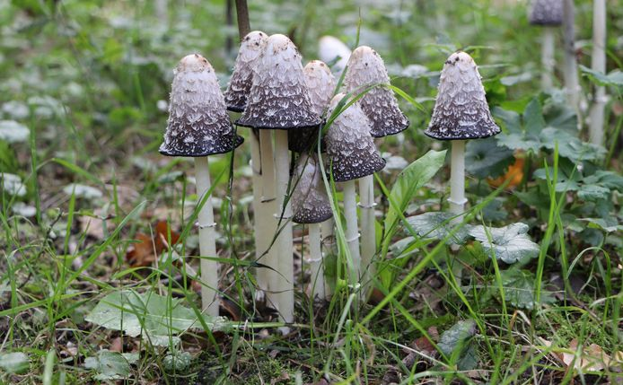 Ad Drenth uit Bergen op Zoom ging ervoor naar het Dwingelderveld in Drenthe en vond deze aparte paddenstoelen.