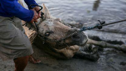 Vrijwilligers redden achtergebleven dieren nadat Filipijnse vulkaan Taal as en lava spuwt