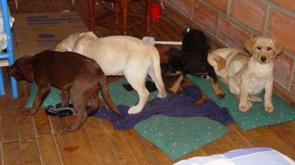 Dierenarts stopt vloeibare heroïne in puppy's en zet hen in als drugskoerier