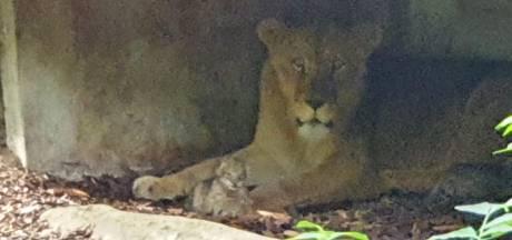 Babygeluk: twee leeuwenwelpjes geboren in Burgers'Zoo voor oog van publiek