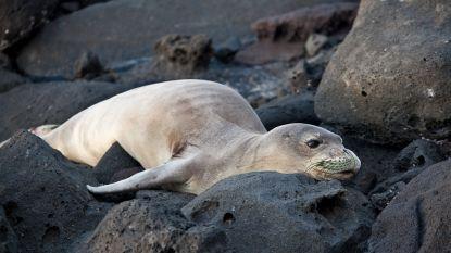 Biologen onderzoeken massale zeehondensterfte in Alaska