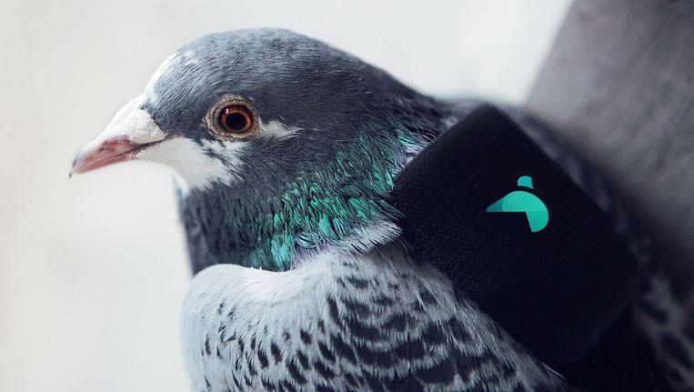 De duiven zijn uitgerust met een 'rugzakje' met GPS en sensoren. Beeld afp