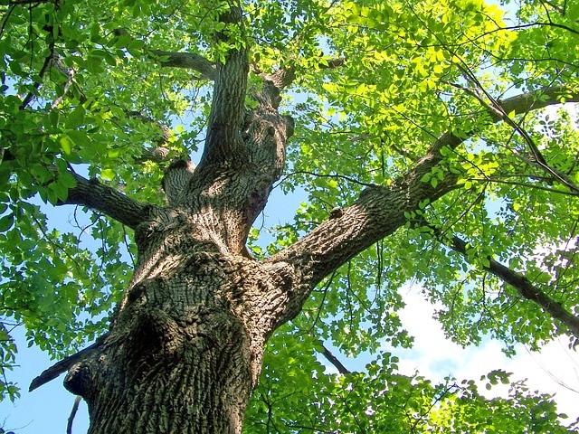Eikenboom (foto ter illustratie).
