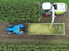 Mais van het land wordt veevoer voor de wintermaanden