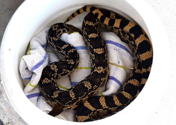 In Wassenaar is bij de Haagsche Golf en Countryclub een slang van meer dan een meter gevonden.