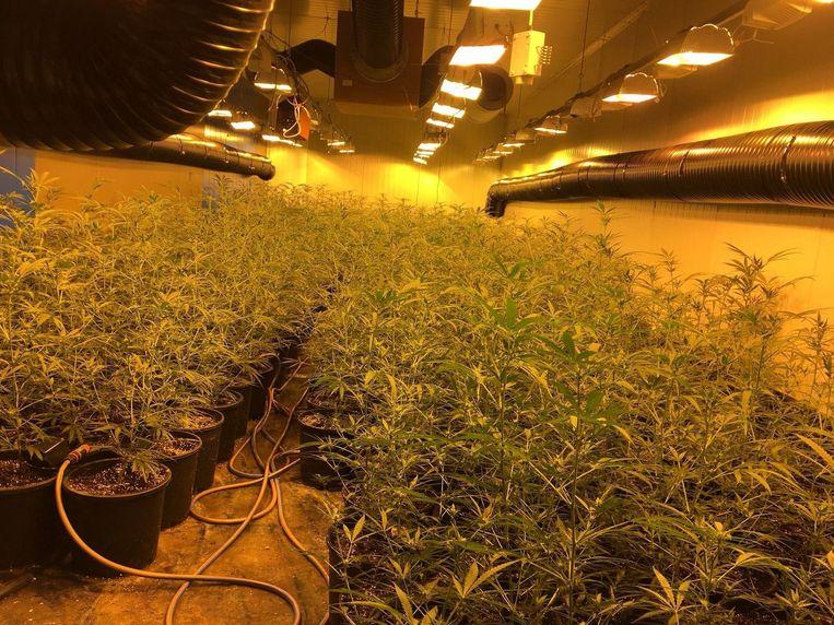 In de cannabisplantage in Nieuwpoort werden 1.000 plantjes aangeroffen.