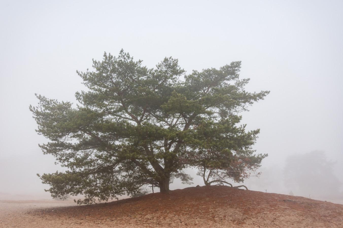 Op de Soester Duinen staan vliegdennen. Het grootste deel van de boom staat ondergronds.