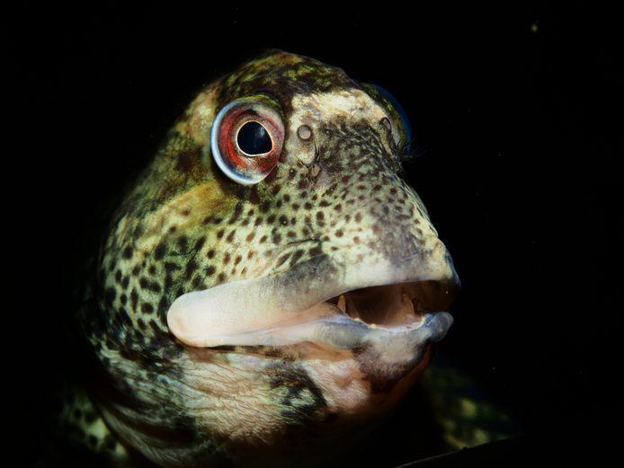 Met dit portret van een steenslijmvisje sleepte René Weterings een gouden medaille binnen