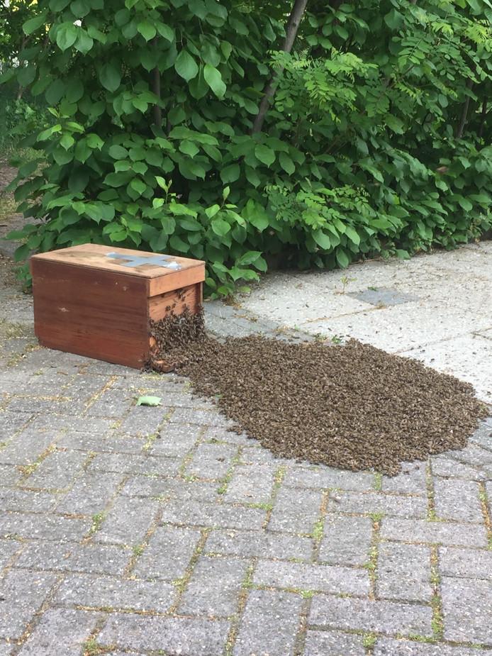 De zwerm bijen worden verplaatst door een imker.