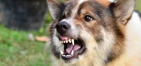 Dordrecht krijg een meldpunt voor agressieve honden