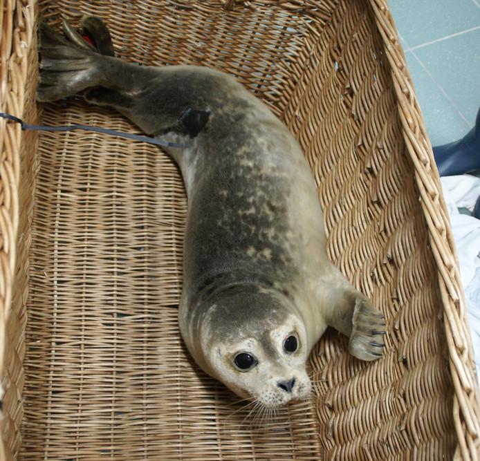 De zieke zeehond