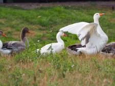 'Wet weerhoudt ons het vangen van ganzen in Strijen'