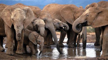 """""""Verbod op verkoop Afrikaanse olifanten aan dierentuinen en circussen komt stap dichterbij"""""""