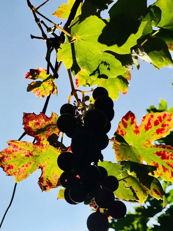 Eimer Wieldraaijer fotografeerde deze druiventros bij ondergaande zon in Arnhem.