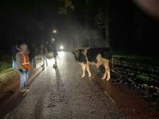 Stier en koeien ontsnappen in Achterberg