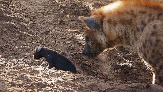 De pasgeboren hyena-pup en moeder Kaïdi.
