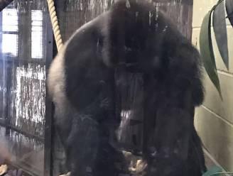 Bezoeker fotografeert gorilla seconden voor hij uitbreekt en hele Londense Zoo ontruimd wordt
