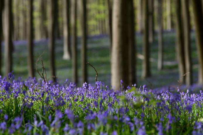 Tapis de jacinthes sauvages, mercredi, au bois de Hal