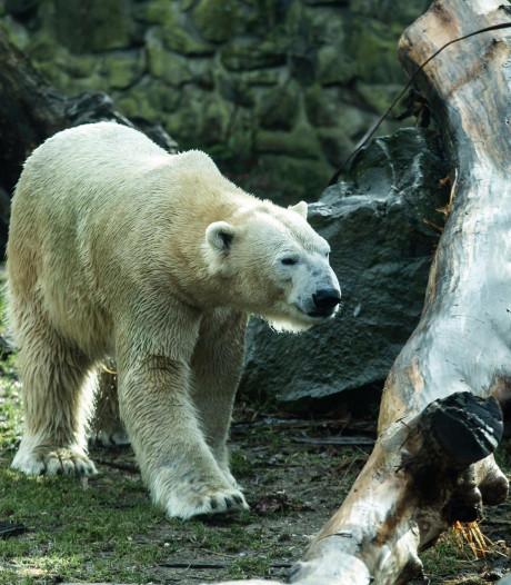 Russisch ijsberenmannetje nu al thuis in Blijdorp: 'Hopelijk zorgt hij voor kleintjes'