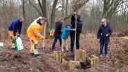 Nijlen in de ban van bomen planten, gemeente plant zelf vredesboom