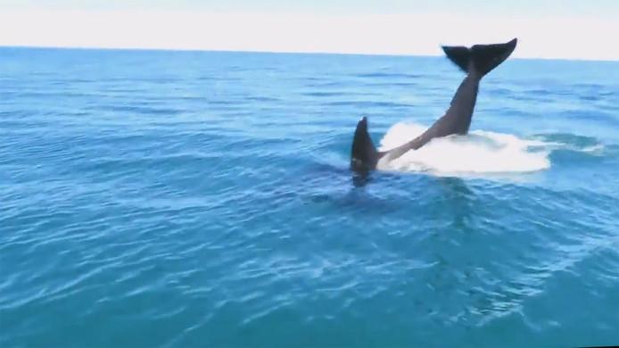 De spelende orka's werden vastgelegd op video.
