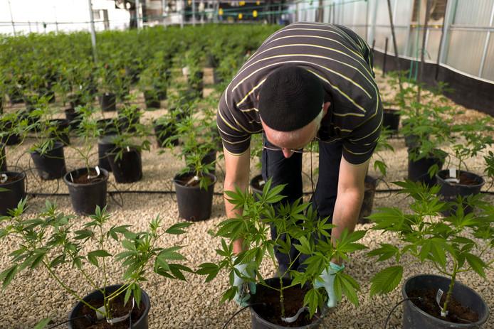 Een cannabiskwekerij in Birya in het noorden van Israël.