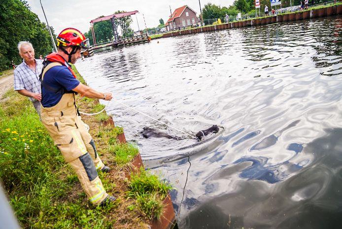 Buffels belanden in kanaal in Son en Breugel