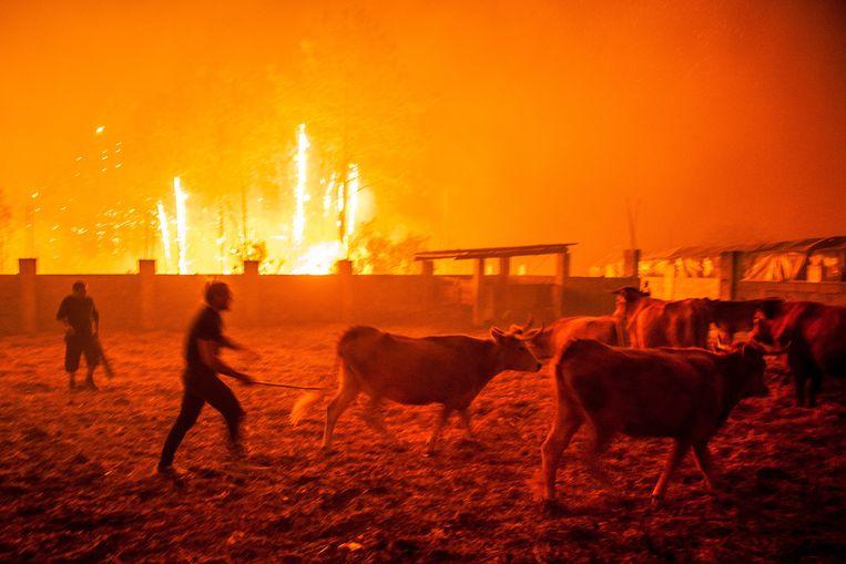 16 Oktober 2017: Portugezen proberen het vee in veiligheid te brengen tijdens de grote branden in de bossen van Leiria. Rond de 6.000 brandweermannen waren ingezet, met 1.800 wagens, om de branden te bestrijden die overal oplaaiden. Beeld Ricardo Graca / EPA