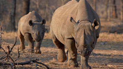 Botswana slaat alarm over toegenomen neushoornstroperij