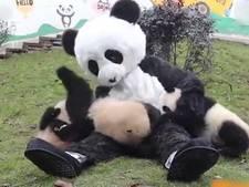 Met babypanda's spelen in kostuum doordrenkt met berenurine