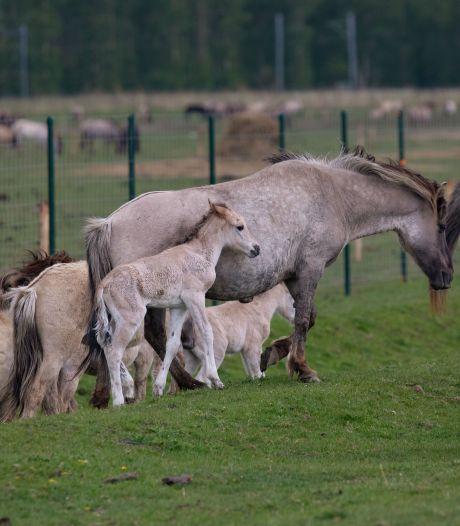 Konikpaarden uit Oostvaardersplassen in juli naar Wit-Rusland