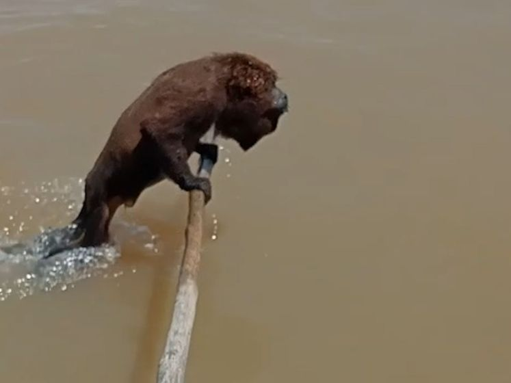 Vissers gieren het uit wanneer hun geredde aap blijkt te kunnen waterskiën