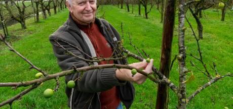 Henk (72) uit Bruchem weet niet wat hij ziet: voor tweede keer pruimen aan de boom
