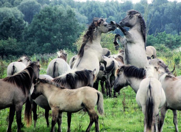 Actievoerders willen onder andere de konikpaarden uit de Oostvaardersplassen halen.