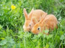 135 euros d'amende pour avoir promené un lapin en laisse