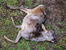 Live kijken naar een kadaver in ontbinding: 'We willen de dood in de natuur nieuw leven inblazen'