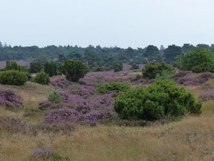 Glooiend heideveld in Natura 2000-gebied Beerze met jeneverbesstruwelen.