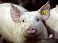 Boekelse varkensboer verwerkt illegaal mest van andere boeren: dwangsom van 20.000 euro dreigt