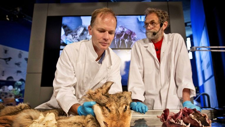 Biologen Jaap Mulder (rechts) en Steven van der Mije bij de bestudering van de resten van de gevonden wolf. Beeld epa