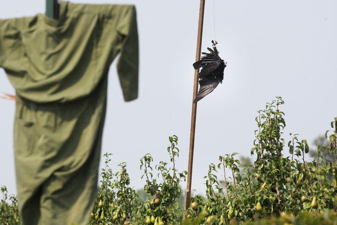 Een dode kraai hangend boven een perenboomgaard.