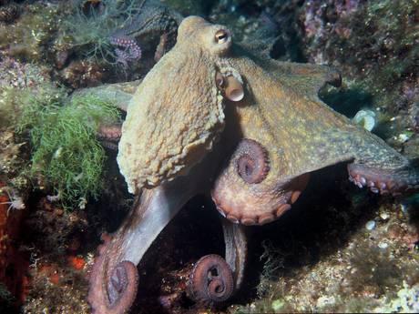 Octopus duikt voor het eerst op in Zeeland