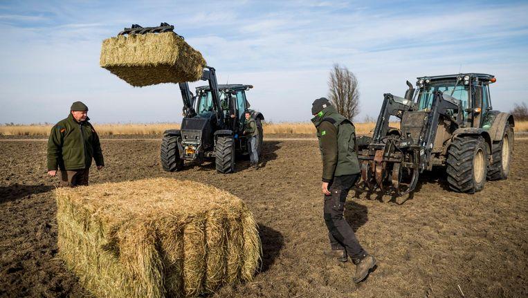 Staatsbosbeheer plaatst strobalen om dieren bij te voeden. Beeld anp