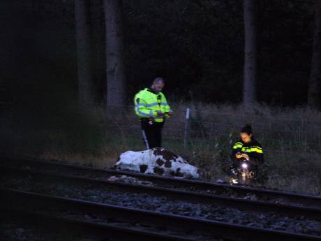 Overvliegende helikopter indirecte oorzaak koeienbotsing bij Wierden: 'Ze waren in paniek'