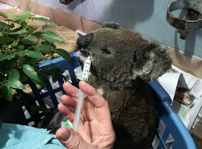 Een andere geredde koala