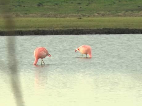Vogelspotters naar Pijnacker voor flamingo's: 'Het lijkt meer voorjaar dan winter'