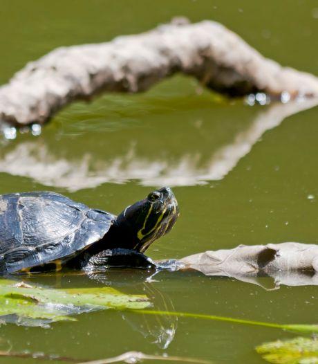 Schildpadden gedumpt in Almelose vijver: 'Ze sterven een langzame dood'