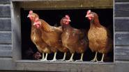 Kippenactie geannuleerd