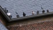 Buurt kerk kampt met duivenmest